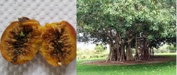 baniyan fruit