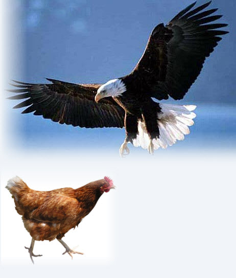 eagle or chicken